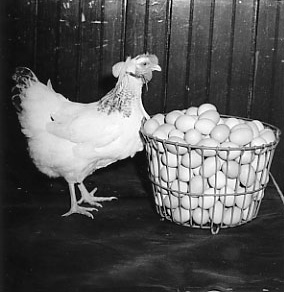 Hen looking at basket of eggs