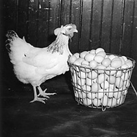 Hen and basket of eggs
