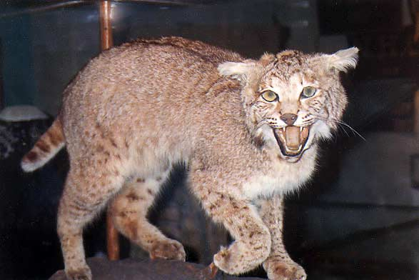 Stuffed wildcat on display