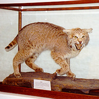 Stuffed wildcat in a glass case