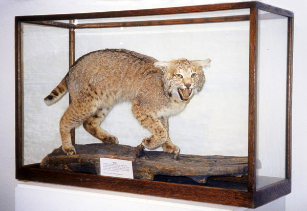 Stuffed wildcat in a glass case looks surprisingly lifelike